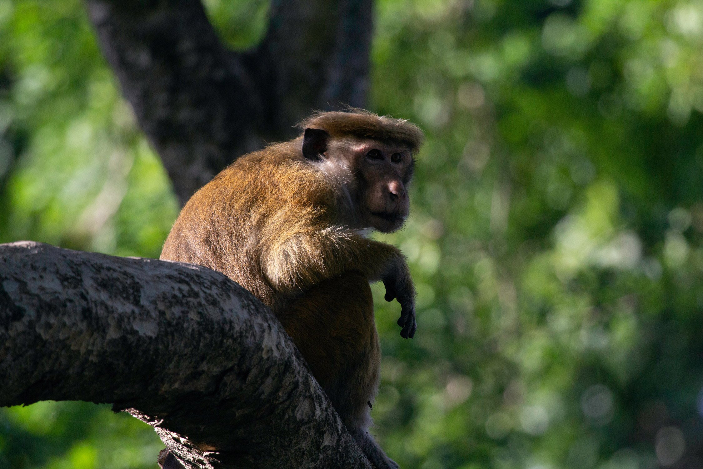 macaques monkey in a tree in Azrou Forest