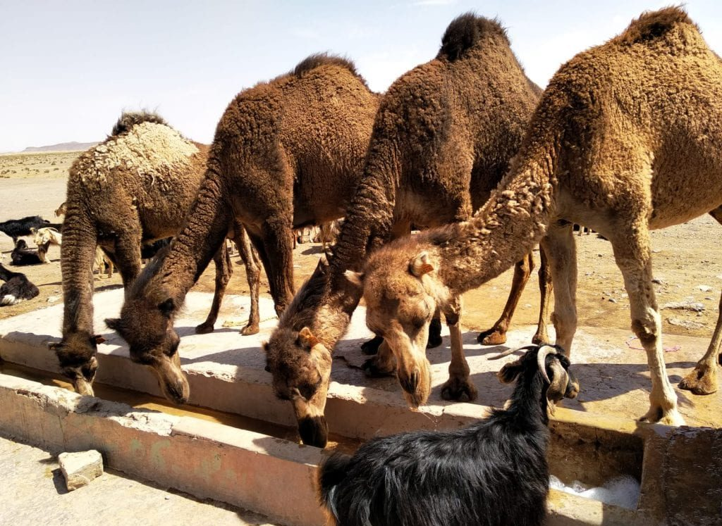 camels drink water in the Marrakech to Merzouga tour